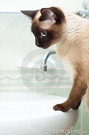 Thirsty siamese cat in bathroom
