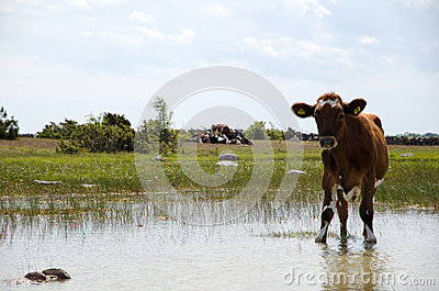Thirsty young cow