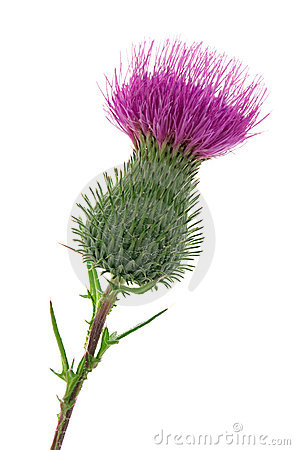 Free Thistle Stock Photo - 12156530