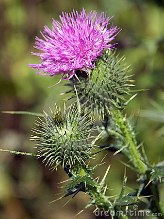 Free Thistle Royalty Free Stock Photo - 205075