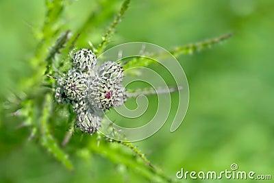 Thistle bud