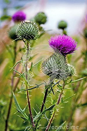 Free Thistle Buds And Flowers On Stock Images - 83595064