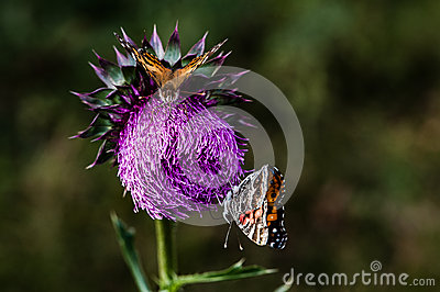 Thistle and Butterflys