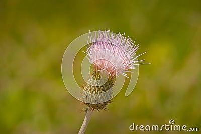 Wavy-leaf Thistle
