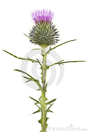 Free Thistle Flower Royalty Free Stock Images - 20604619