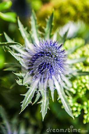 Free Thistle Flower Background. Close Up Stock Photos - 70226243