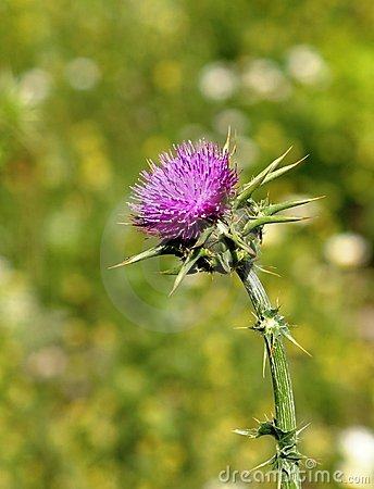 Free Thistle Flower Head Stock Photos - 6268603