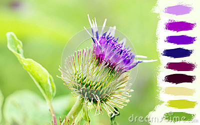 Thistle purple flower