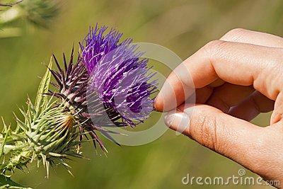 Thistle touch