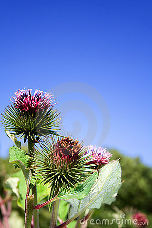 Free Thistle Weed Wild Flower Stock Photography - 11209352