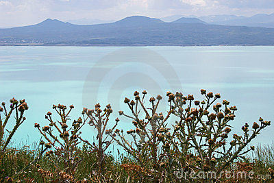 Thistles on Sevan lake, Armenia