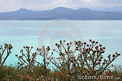 Thistles on Sevan lake, Armenia