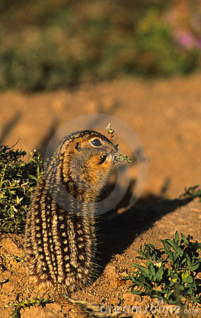 Thiteen Lined Ground Squirrel
