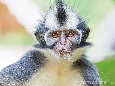 Thomas s leaf monkey