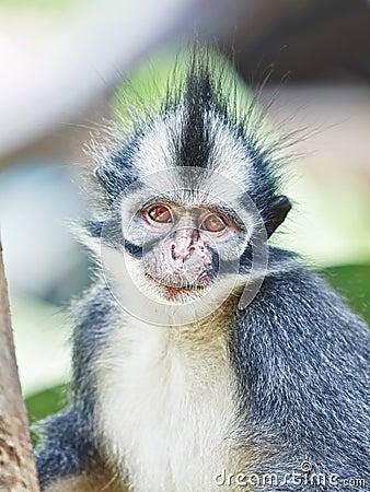 Thomas s leaf monkey