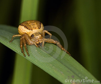 Thomisidae spider (Golden crab spider) ready