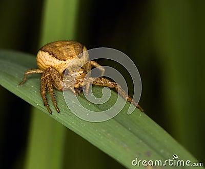 Thomisidae spider (Golden crab spider) ready