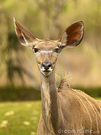 Thompson gazelle looking at the camera