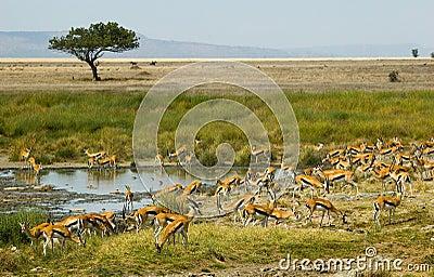 Thompson s gazelles