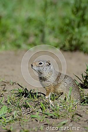 Thompson s Ground Squirrel stands near his den.