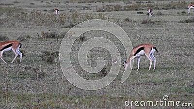 thomson för gazelles s stock video