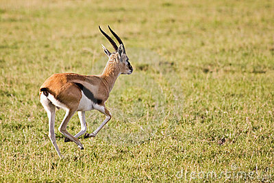 Thomson Gazelle Running in Serengeti