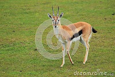 Thomson s gazelle