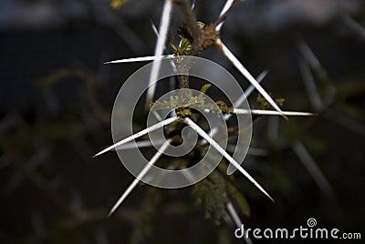 Thorn - Acacia Tree