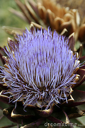 Thorn Flower Thistle Close up