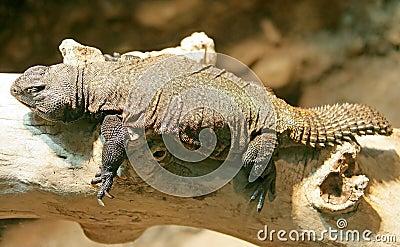 Thorn-tailed Agama 3