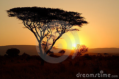 Thorn tree at sunset