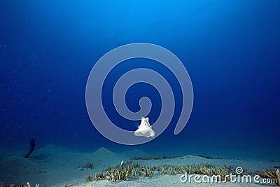 Thornback boxfish (tetrasomus gibbosus)