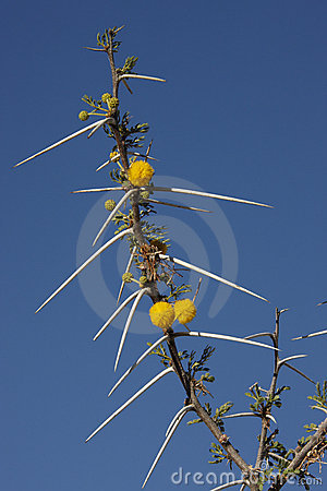 Thorns on Acacia Tree - Namibia