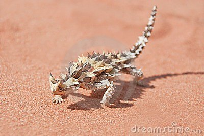 Thorny Devil with shadow on red outback sand