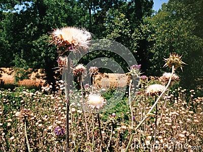 Thorny wild flowers