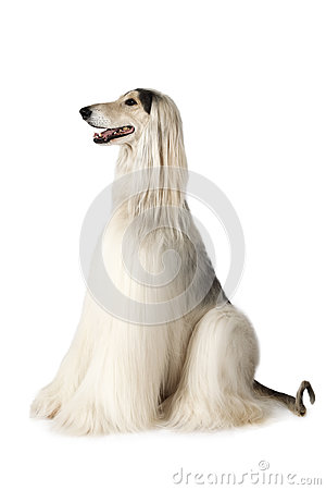Free Thoroughbred Afghan Hound Royalty Free Stock Photos - 85012228