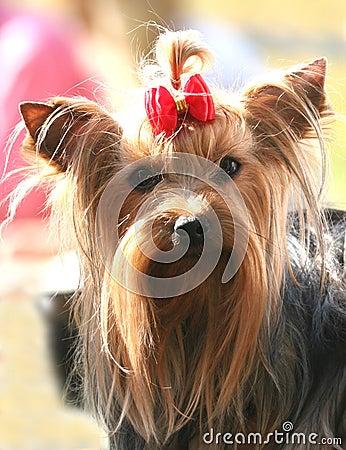 Thoroughbred dog