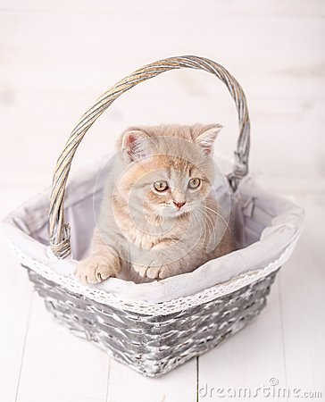 Free Thoroughbred Scottish Straight Cats With Yellow Eyes Sitting In A Basket. Stock Images - 100557184