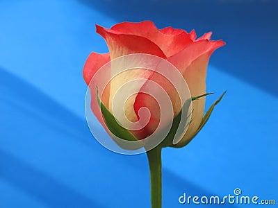 Thou art, Rose