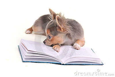 Thoughtful chihuahua puppy reading a book