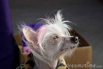 Thoughtful Chinese Crested Dog
