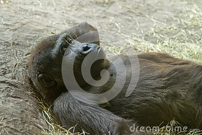 Thoughtful Gorilla Relaxing