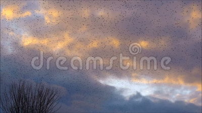 Thousands of Starlings Flying to Roost. A huge flock of starlings (Sturnus vulgaris) flying to their roosting area at sunset on a winter evening, seen against a stock video