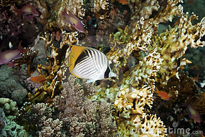 Threadfin butterflyfish and ocean