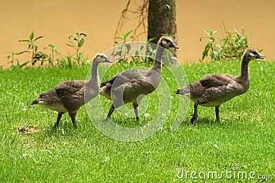 Three adolescent geese