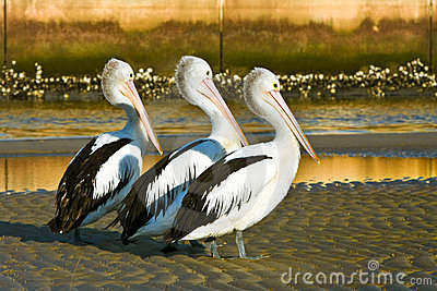 Three adult australian pelicans on the beach