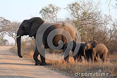Three african elephants