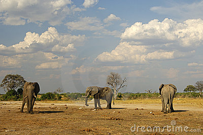 Three African Elephants, Botswana