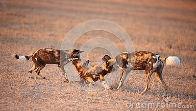 Three African Wild Dogs (Lycaon pictus)
