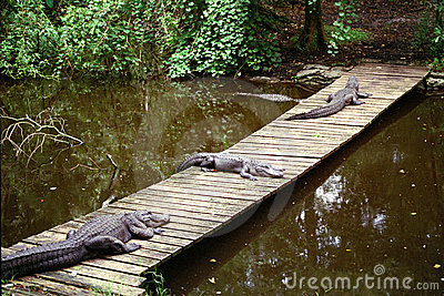 Three aligators laying on bridge